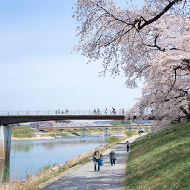画像: 白石川堤一目千本桜(さくら回廊)