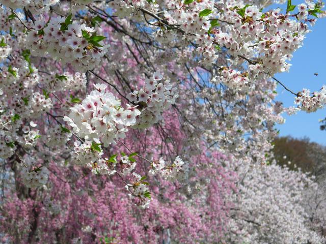 画像1: 東北6県の桜情報! 4月下旬、おすすめ「お花見ツーリングスポット」8選