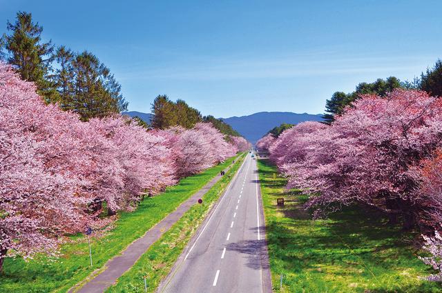 画像: 桜全体の7割を占めるのが北海道特有のエゾヤマザクラ。見事な色と咲きっぷりで毎年約20万人の観光客が賑わう/例年の見頃:5月上旬~中旬
