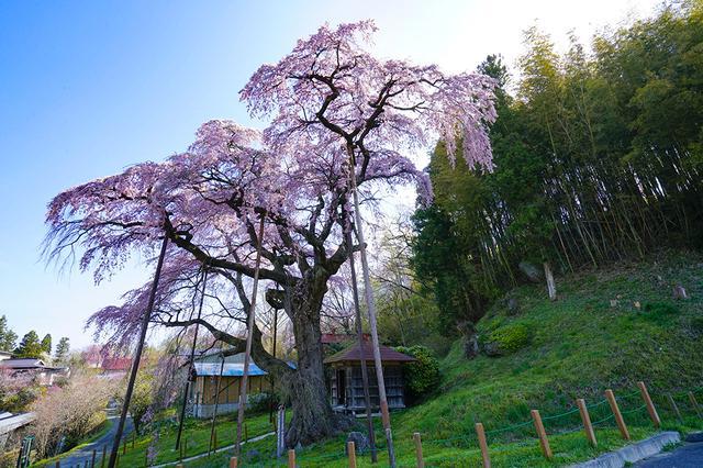画像: ①福島県郡山市/紅枝垂地蔵桜