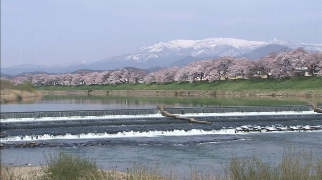 画像: ②宮城県大河原町/白石川堤一目千本桜