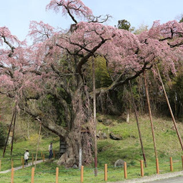 画像: 紅枝垂地蔵ザクラ