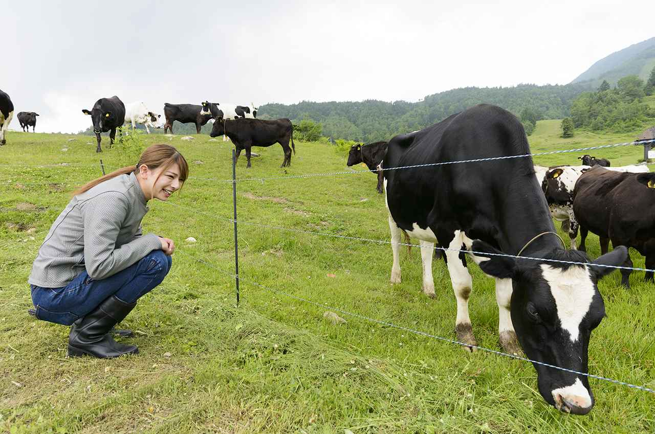 画像: 電気柵なので、人も牛も近づきすぎるのは要注意です!