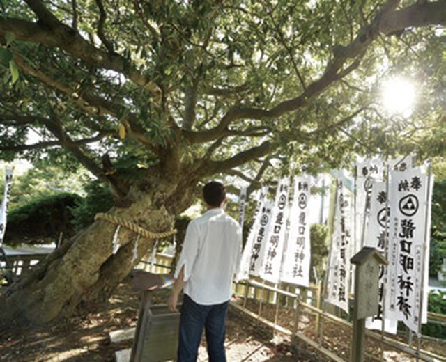 画像: 訪れたのは真夏でしたが、涼しく感じるほどの木陰の広さでした。生命力にあふれる姿は、まるで 御祭神の五頭龍そのもに思えました。木にも、もちろん「参拝」をしました。
