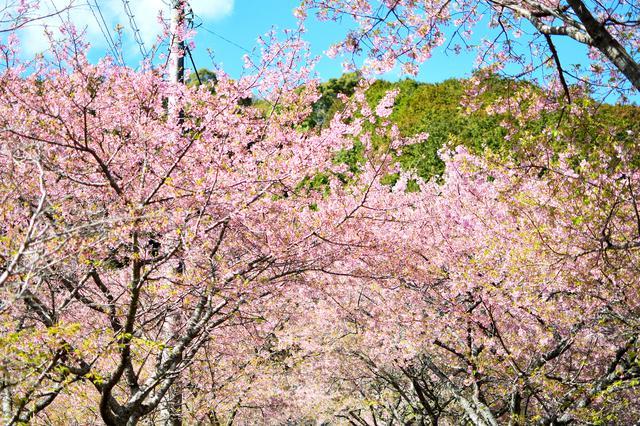 画像: 河津桜も良いものです。