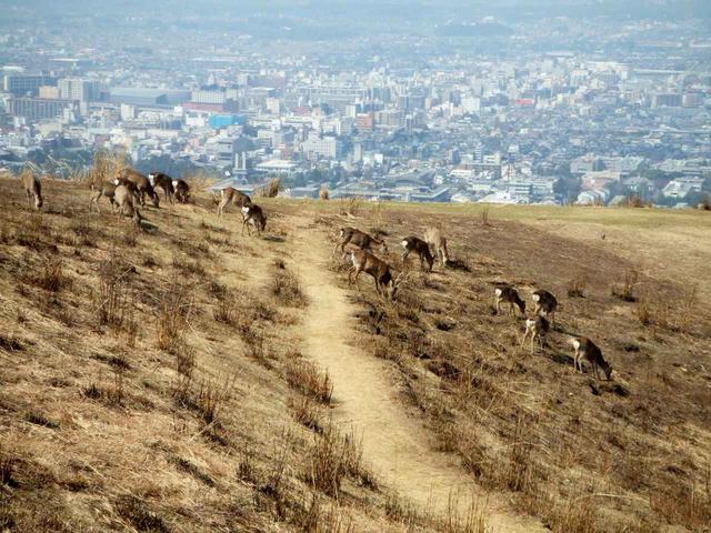 画像: 若草山にもたくさんの鹿がいます。