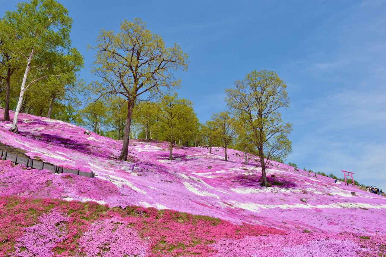 画像: ② 北海道 大空町「ひがしもこと芝桜公園」