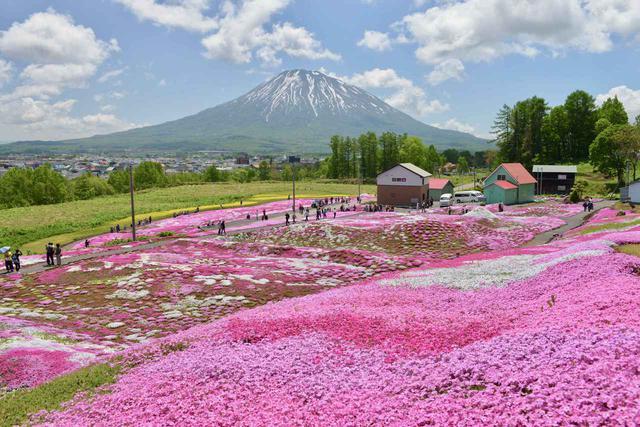 画像: ③ 北海道 倶知安町「三島さんの芝ざくら庭園」