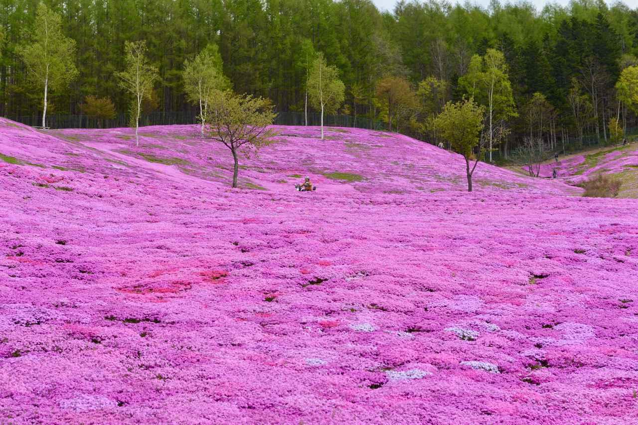画像: ① 北海道 滝上町「芝ざくら滝上公園」