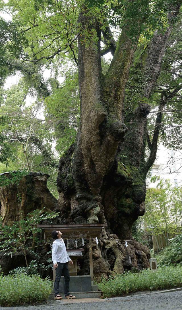 画像: 樹齢は2100 年を超えるといわれる御神木の大楠。高さ約26 m、胴回りが約23 . 9 mの本州一位の巨樹で、「長寿の神木、成就の神木」として信仰を集めています。毎年5月5日の大楠祭は、大楠が新葉を付け、生命力に満ち溢れた時季に行なわれます。