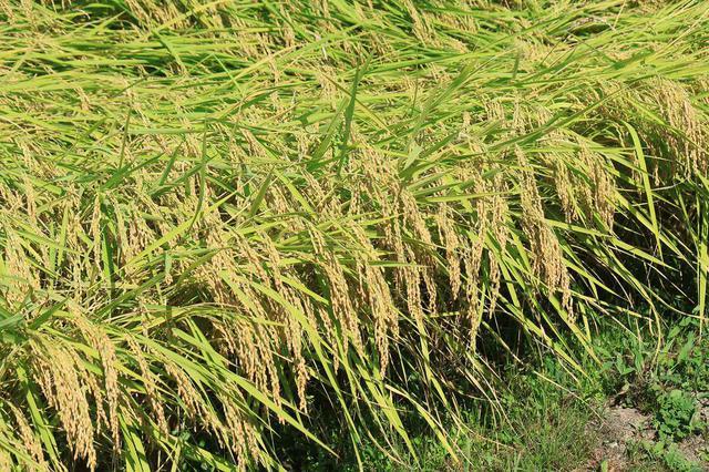 画像: 大事なことだから2回言います。実るほど頭を垂れる稲穂かな。 西野家の家訓のひとつ「南魚沼のお米は、ピカピカしていて美味しい」。