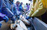 画像: 釜石港で水揚げされるサケ