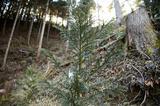 画像: 東京美林倶楽部の会員が植えた、スギの苗木