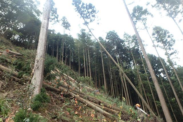 画像: 伐採時に最も気をつかうのが、木を倒す方向。これを誤ると大事故につながってしまう、非常にリスクの高い作業だ。「林業の現場仕事に向いているのは、適度に慎重な人」と青木氏は語る。