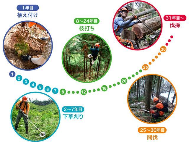 画像: 林業の業務サイクル。数字は年数。伐採できるまで30年以上を要する。