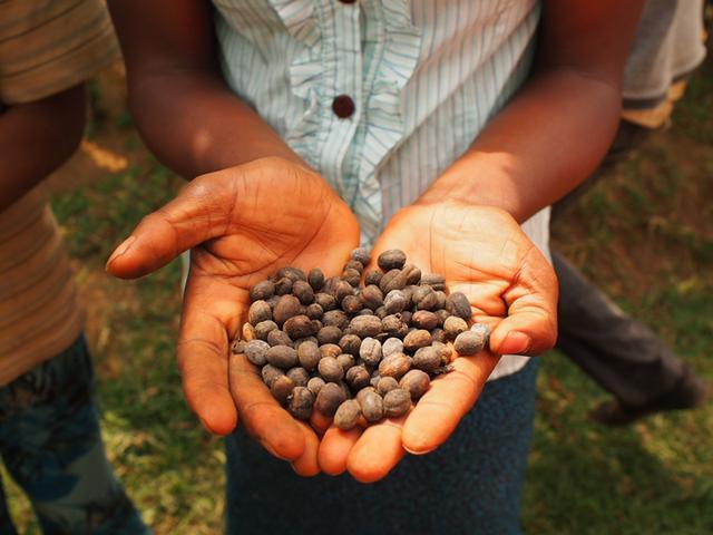画像: 殻に覆われた状態のコーヒー豆