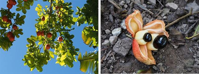 画像: アキー(左が木になっている状態、右が地面に落ちて種がむき出しになったもの)
