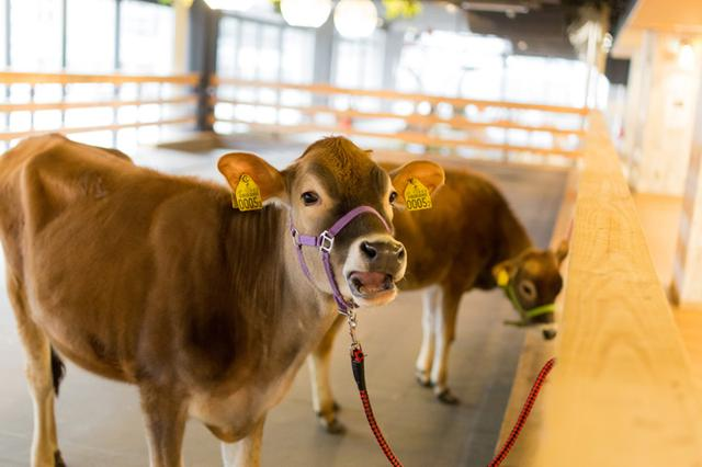 画像: おとなしいジャージー牛の子牛です。優しい目に癒やされます。