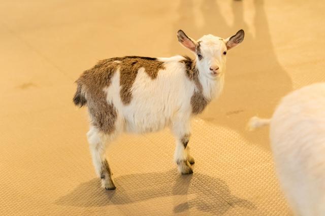 画像2: 快適な環境で、ヤギの赤ちゃんも生まれたそうです!