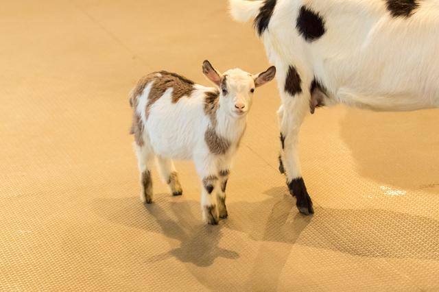 画像1: 快適な環境で、ヤギの赤ちゃんも生まれたそうです!