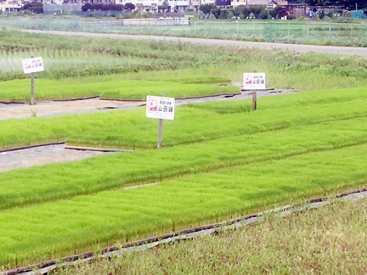 画像: お酒用のお米「山田錦」の苗は青々として、背丈がピッタリ揃っていました!