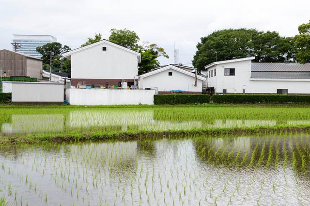 画像: 泉橋酒造さんの酒蔵、精米所、研修施設などの敷地のすぐ真裏に、田んぼがあります。