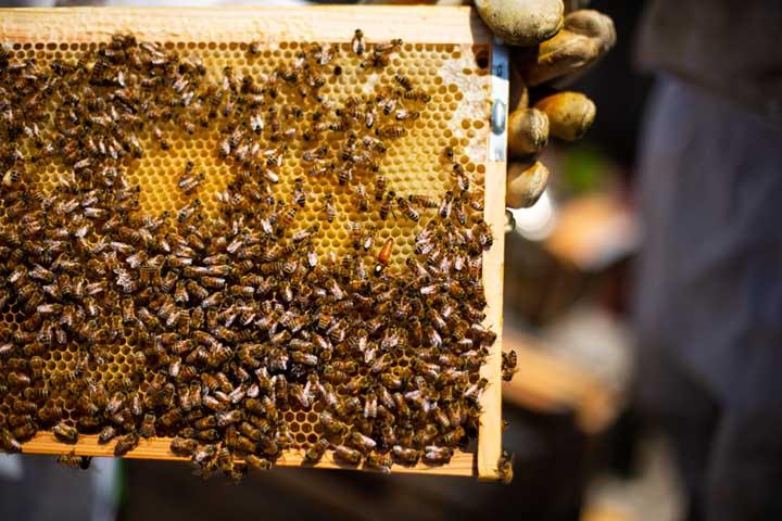 画像: 巣枠を取り出すと、働きバチの群れの中に女王バチの姿が