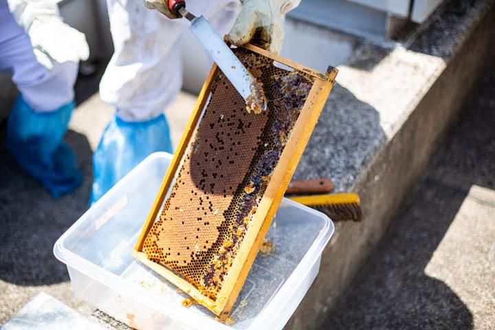 画像: 蜜ろうの蓋を丁寧にはがして、ハチミツを採りやすい状態にしてから遠心分離機にかける