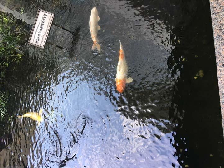 画像: 有明スポーツセンターの入口の池には、悠々とたくさんのコイが泳いでいます。この池の水は下水の再生水だそう。