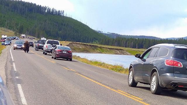 画像: Yellowstone National Park(イエローストーン国立公園)。道路を歩く バイソン !