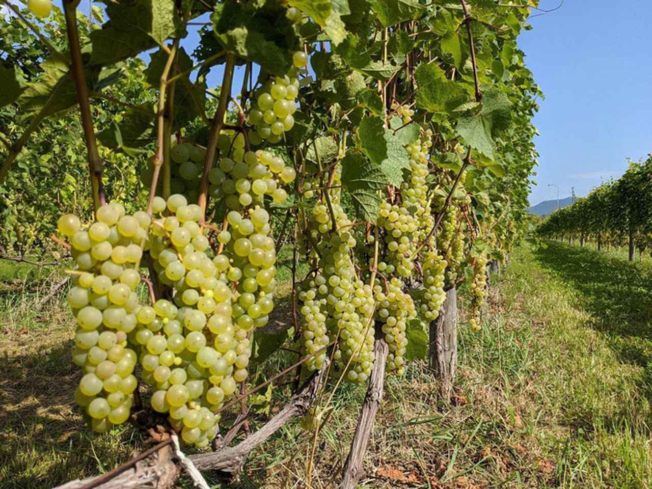 画像: ワイン用のぶどうは棚仕立てではなく、垣根仕立てでの栽培が比較的主流です