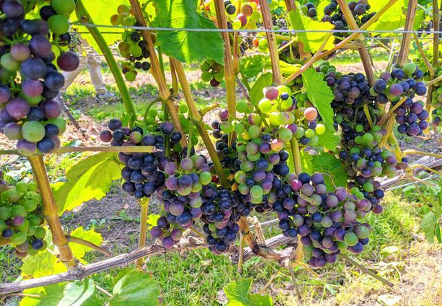 画像: 余市で栽培されているツヴァイゲルトのヴェレゾンの様子です