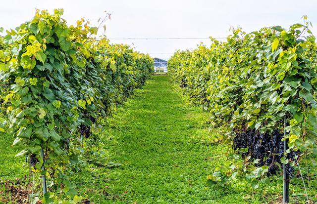 画像: 垣根仕立てのセイベル(ぶどう品種)です。果実は低いところにつき、その上に葉が生い茂ります。樹の密度は、棚仕立てに比べて詰まっています
