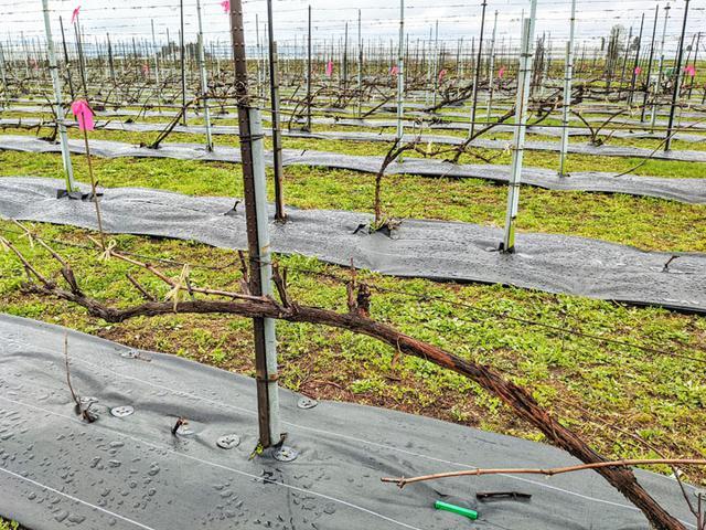 画像: 翌年の芽の候補を残して、あとは剪定してしまいます。通常は冬の間の作業ですが、北海道は雪が積もるまでに急いで剪定する必要があります