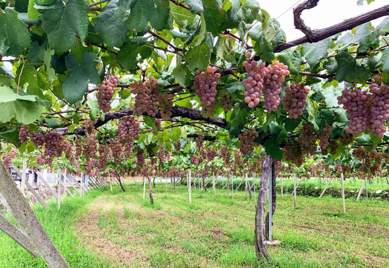 画像: 棚仕立ての甲州(ぶどう品種)です。葉、果実それぞれが頭上にあり、樹の密度はまばらです
