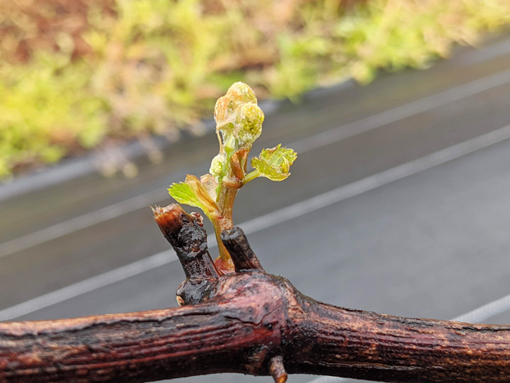 画像: 展葉して数日経ったところです。ここからぐんぐんと緑色の枝が伸びます