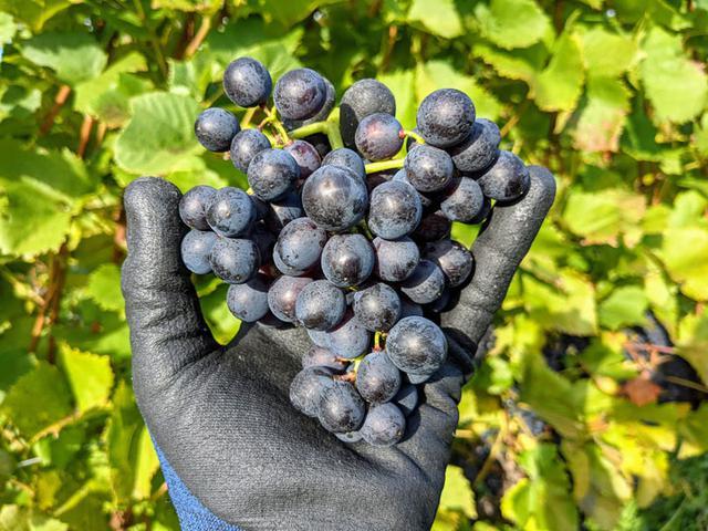 画像: 北海道・余市で栽培されているピノ・ノワール(ヴィニフェラ品種)の果実です