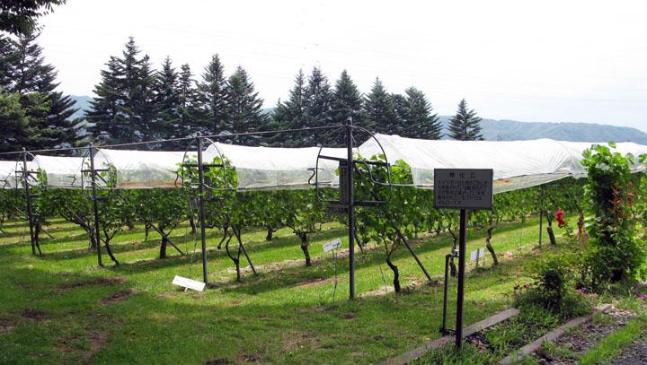 画像: マンズワインで開発されたレインカット栽培。ぶどうの樹・果実をビニールで覆うことで病害を防いでいます