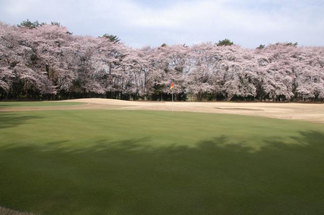 画像1: 埼玉県 大宮ゴルフコース 急げ、急げ! 桜を見ながらお花見御膳!