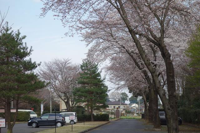 画像: 「距離も短いし、ベスト狙って来てよ」編集長の指令で意気揚々とコースへ向かった調査隊。出迎えてくれたのは満開の桜