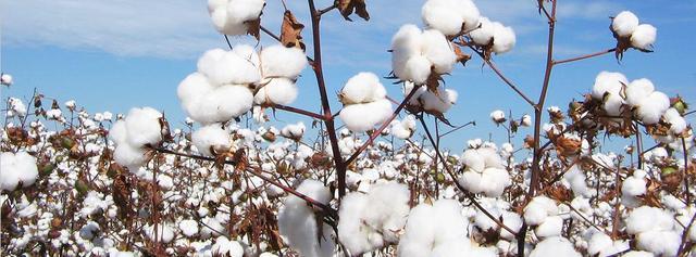 画像: 農薬や化学肥料を使わないオーガニックコットンを使用 www.maruei-towel.com