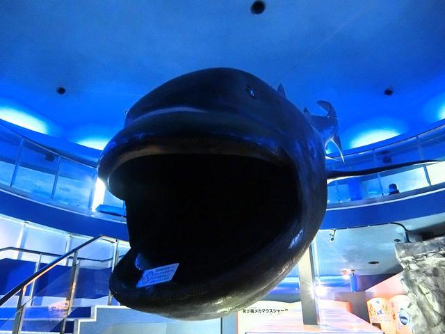 画像: 巨大な口から「メガマウスシャーク」と呼ばれる。1976年11月15日にハワイ沖で最初に発見された