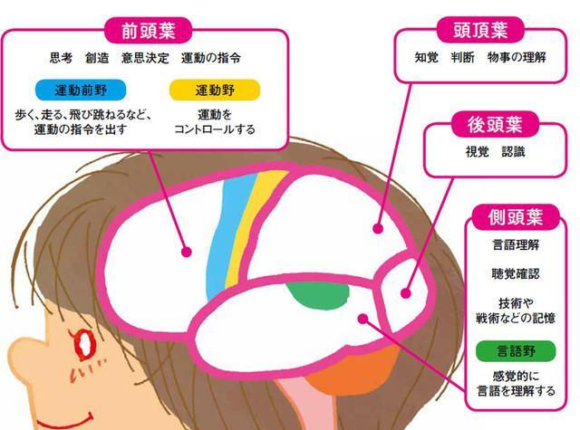 画像: 大脳は前頭葉、頭頂葉、後頭葉、側頭葉によって構成され、それぞれ役割が異なる