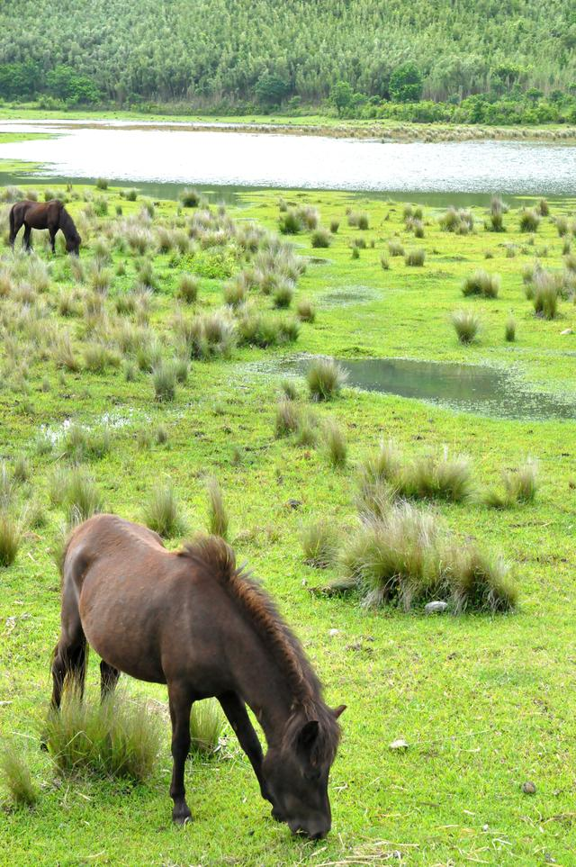画像: 日本の在来種であるトカラ馬がのんびりと暮らす