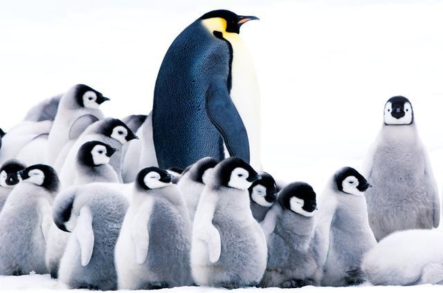 画像: 子どもペンギンの初めての旅に密着