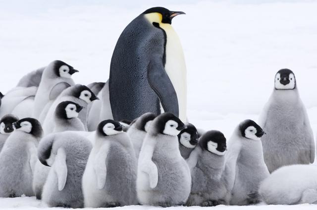 画像: デジタル4Kが捉えた南極に生きるペンギンの生態 「皇帝ペンギン ただいま」8月25日公開