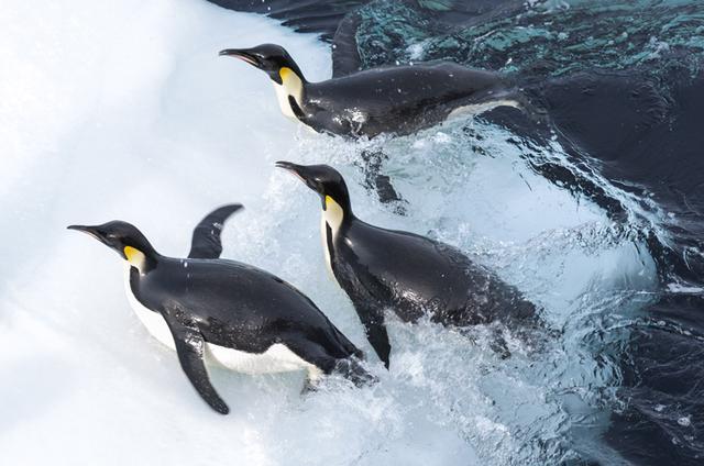 画像: 皇帝ペンギンの子育てと親子の絆
