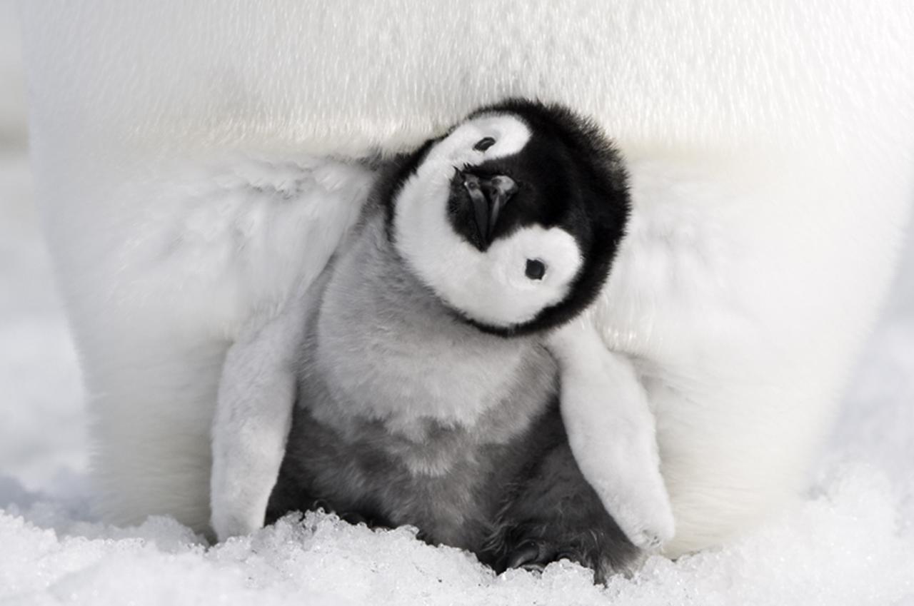 画像: デジタル4Kが捉えた南極に生きるペンギンの生態 「皇帝ペンギン ただいま」8月25日公開 - SCREEN ONLINE(スクリーンオンライン)
