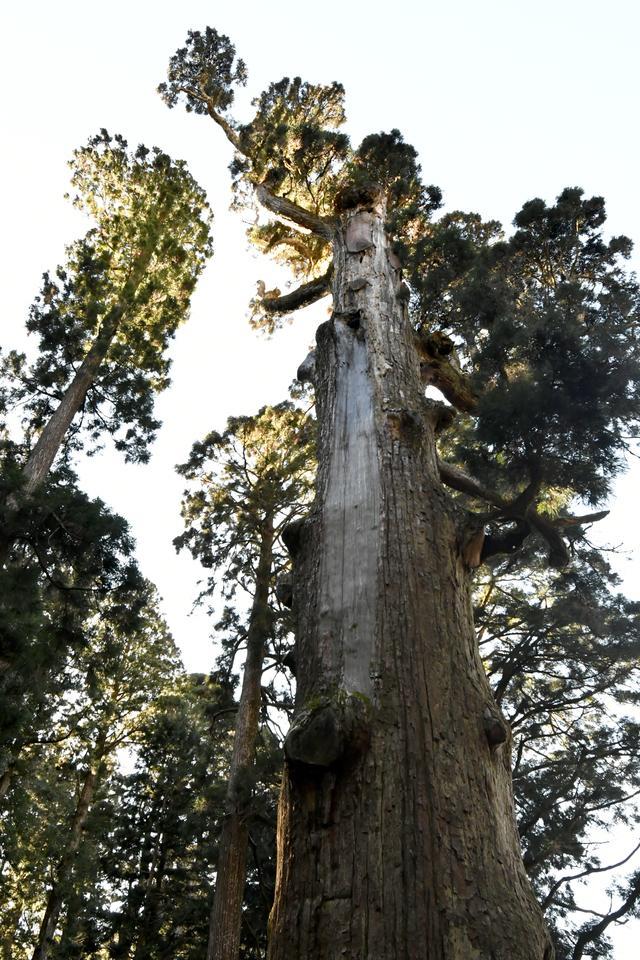 画像: 拝殿の裏の方にようやく発見し、再びクルマまで山道を下ったら、完全に息が上がっていた。これだけ苦労して見た弁慶杉そのものも何だか微妙な感じ。高さは40m、樹齢は推定2500年だという。復路の下り6kmがさらに身にしみた。