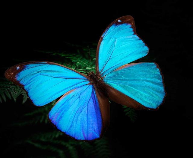 画像: モルフォ蝶。無色なのに青く見えるのは「構造発色」という原理によるものという。